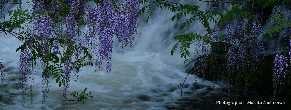 日本の美・藤花