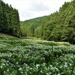 7月6日【2017】御杖村 岡田の谷の半夏生…見頃となりました