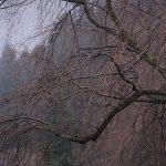 3月20日【2018】伊勢本街道沿い丸山公園の桜&三多気の桜『開花情報』