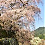 4月1日【2018】伊勢本街道にも桜前線。。。観光名所の開花速報
