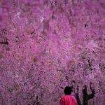 4月12日【2018】今年の春「桜」を彩る天空の庭・高見の郷しだれ桜。。。見頃です!!!