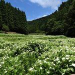 7月2日【2018】岡田の谷の半夏生「奈良県御杖村」が見頃となりました (^_-)-☆
