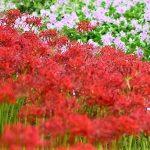 9月26日【2018】古都・奈良を彩る彼岸花。。。