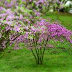 4月24日【2019】奈良県御杖村丸山公園は今、花の畳あとにひっそりとミツバツツジが…