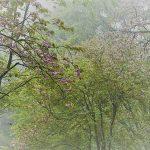 4月30日【2019】御杖村丸山公園の遅咲き桜は霧に包まれて、 …近くではクマガイソウ群生が。。。