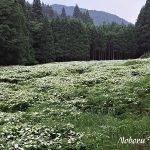 7月13日【2019】岡田の谷の半夏生が見頃となりました (^^♪
