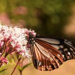 10月9日【2019】三重県津市美杉町のアザギマダラ(渡り蝶)園は広大な場所へ…