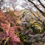 4月10日【2020】奈良の春「ヤマザクラとミツバツツジ」…丸山公園の春キラリ