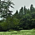 7月4日【2020】奈良県御杖村 岡田の谷の半夏生は…今が見頃 ☺