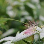 7月11日【2020】 内に秘めた情熱の花。。。岡田の谷の半夏生
