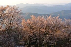 屏風岩公苑の桜