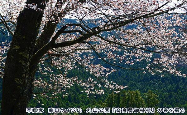 奈良県御杖村 丸山公園の山桜