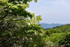 奈良県御杖村三峰山 白ツツジ