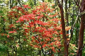 奈良県御杖村三峰山 赤ツツジ
