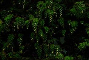 キイジョウロウ 奈良県御杖村 自然山野草園