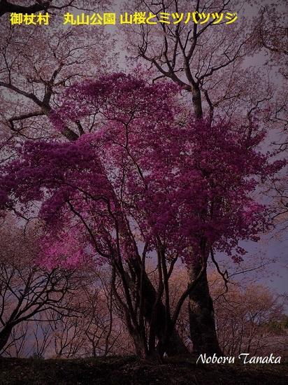 御杖村 丸山公園山桜