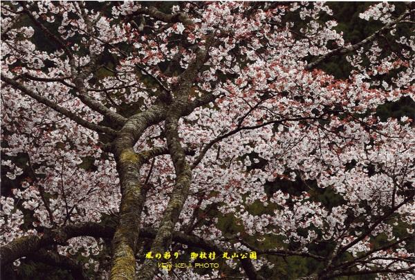 御杖村 丸山公園 山桜