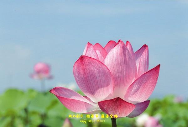 橿原市 藤原宮跡 蓮の花