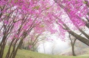 奈良県御杖村 丸山公園 ミツバツツジ