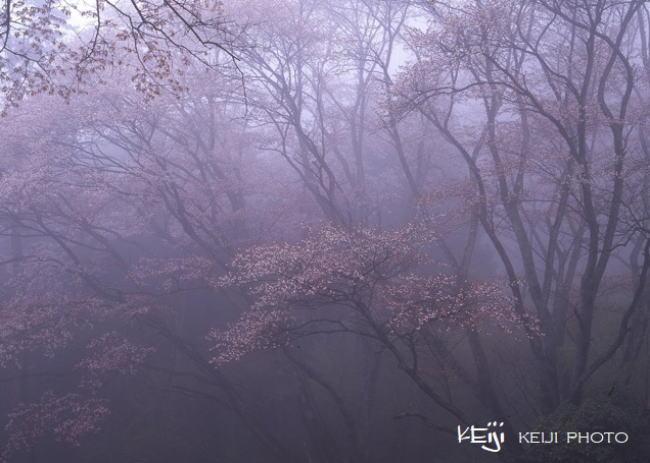 伊勢本街道沿いの桜