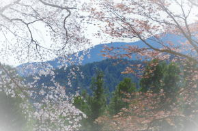 奈良県御杖村 丸山公園の桜