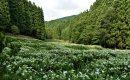 7月6日【2017】御杖村 岡田の谷の半夏生...見頃となりました