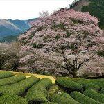 3月24日【2018】伊勢地「三重県津市」に春だよ…旬の花がいっぱい!!!