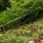 4月18日【2018】奈良の春 花便り『長谷寺の牡丹』