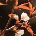 3月28日【2019】三重県津市の三多気の桜が咲き始めましたョ~ ?