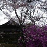 4月10日【2019】奈良県御杖村丸山公園の山桜&ミツバツツジは今…そして三多気の桜は☺