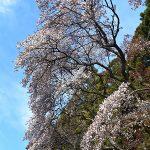 4月16日【2019】奈良県御杖村の春。。。丸山公園も桜前線が☺