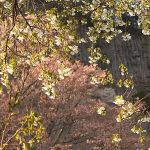 4月20日【2019】奈良県曽爾村・屏風岩公苑の山桜は今…