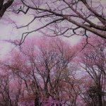 5月4日改訂版【2020】丸山公園の春・季節花『画像&動画版』Part ③