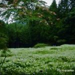 7月5日【2020】奈良県御杖村 岡田の谷の半夏生と合歓の花