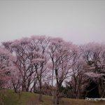 4月2日【2021】春の陽気に奈良・街道沿い花々は…