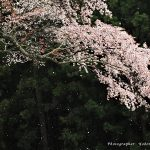 4月4日【2021】4月雨に山桜…わびしさ春の御杖