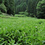6月26日【2021】季節はうつり、御杖村の背景は半夏生へと。。。