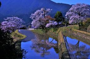 三多気の桜