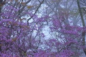 奈良県御杖村 丸山公園 桜とツツジ