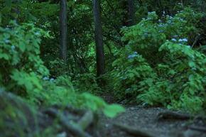 奈良県御杖村三峰山 小アジサイ