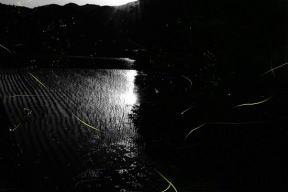 奈良県の蛍 ( ホタル )