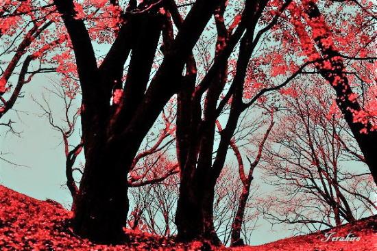 丸山公園の100年モミジ