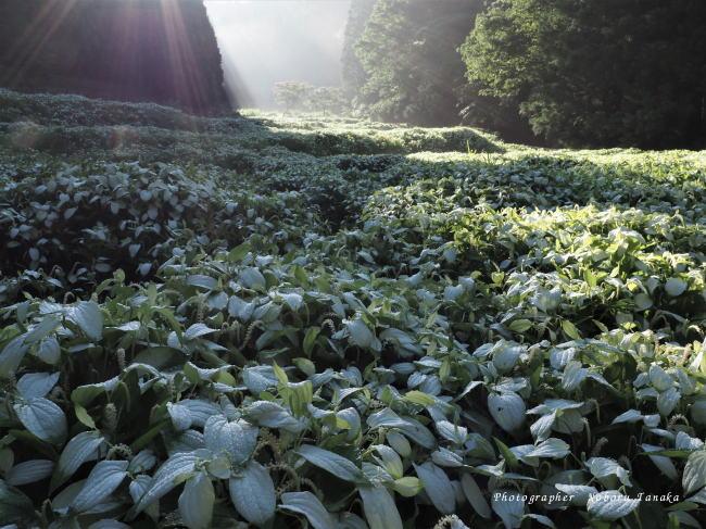 岡田の谷の半夏生 光芒
