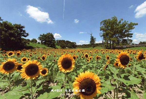 馬美丘陵公園 向日葵