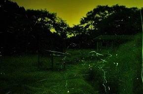 奈良県の蛍 ( ホタル ) 丸山公園